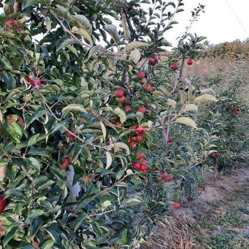 Porodica Hasanbašić: Oko 200 tona jabuke imamo kad je puni rod