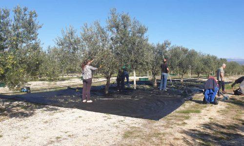 Hercegovački maslinari prezadovoljni ovogodišnjim urodom