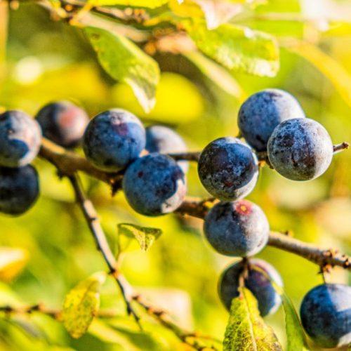 Proizvodnja jagodičastog voća u Podrinju postaje profitabilnija