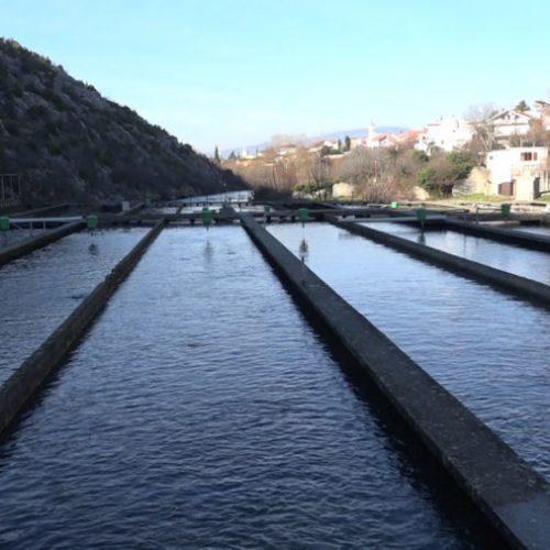 Kompanija Laks godišnje proizvodi stotine tona ribe: 'Cilj nam je hiljadu tona'