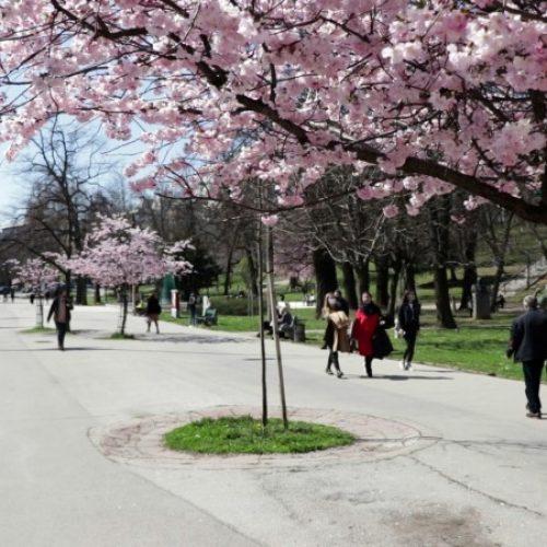 U prvim danima proljeća ulice Sarajeva ukrašene beharom (VIDEO)