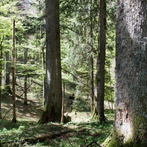 Svjetski dan okoliša u Kantonu Sarajevo posvećen prašumi Ravna Vala na Igmanu