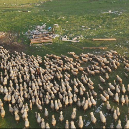 Na Pešteru pase najveće stado ovaca na Balkanu: Četiri vrijedna brata čuvaju preko hiljadu grla