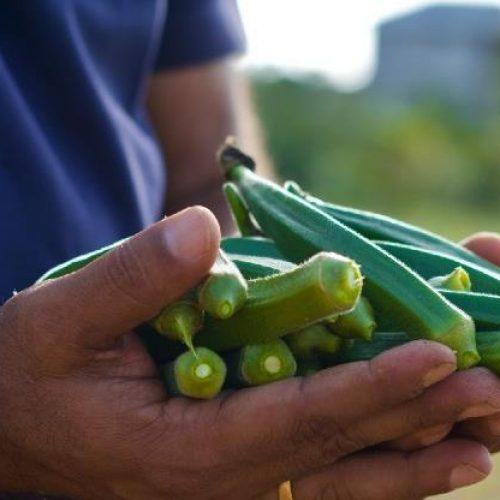 Interes u očuvanju uzgoja: Najveći bh. trgovački lanac zainteresovan za bamiju iz Brčkog