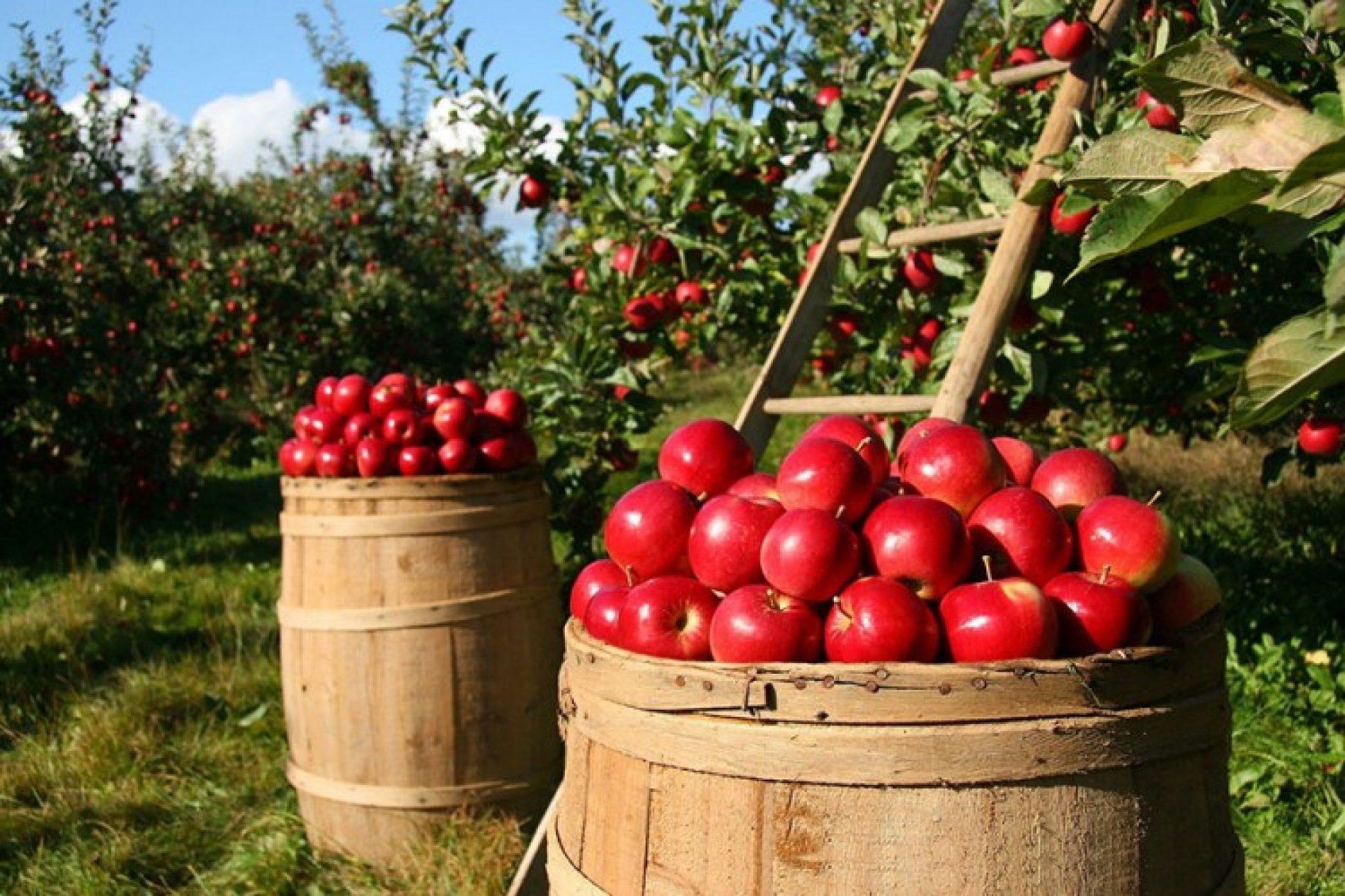 Za pola godine bosanski voćari u Rusiju izvezli 3,5 miliona kg jabuka