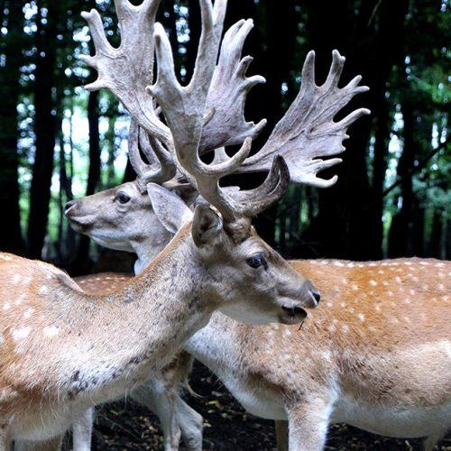Prizori jelena kod Tuzle posjetioce ostavljaju bez daha