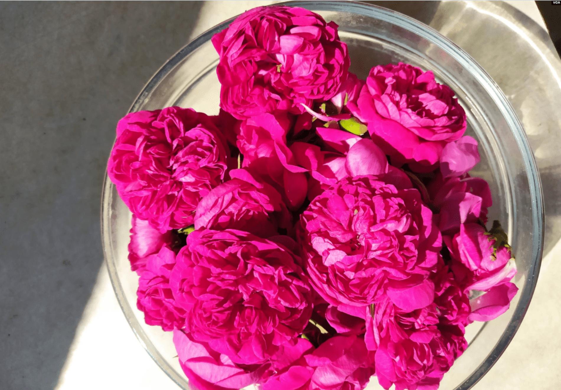 Čuvari ruža: potrebno više brige za očuvanje đulberšećer ruže